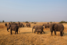 Canvas print - African Elephant Herd