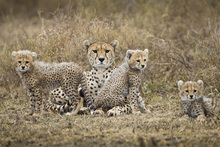 Fototapete - Cheetah Cubs and Mother