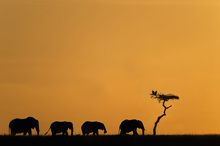 Fototapet - Herd of Elephants and Vultures at Sunrise