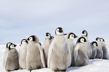 Fototapet - Group of Emperor Penguin Chicks