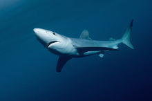 Fototapet - Blue Shark