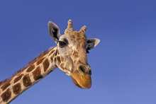 Fototapet - Portait of Masai Giraffe