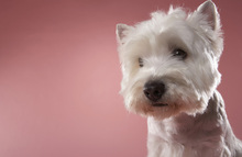Canvas print - West Highland Terrier