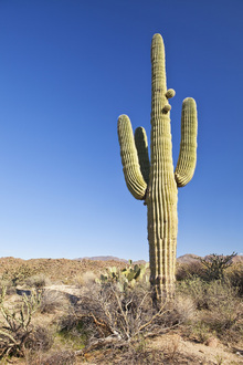 Canvas print - Saguaro Cactus in Desert
