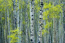Fototapet - Spring Foliage on Trembling Aspen