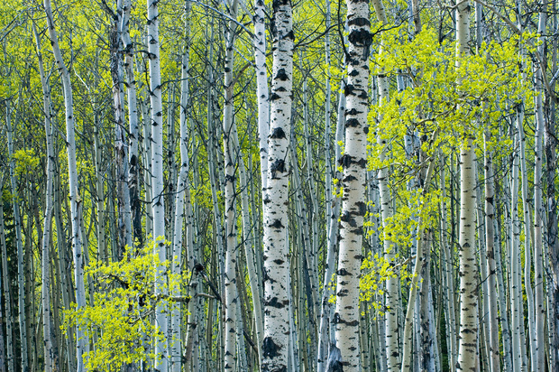 Spring foliage on trembling aspen wall mural photo for Aspen wall mural