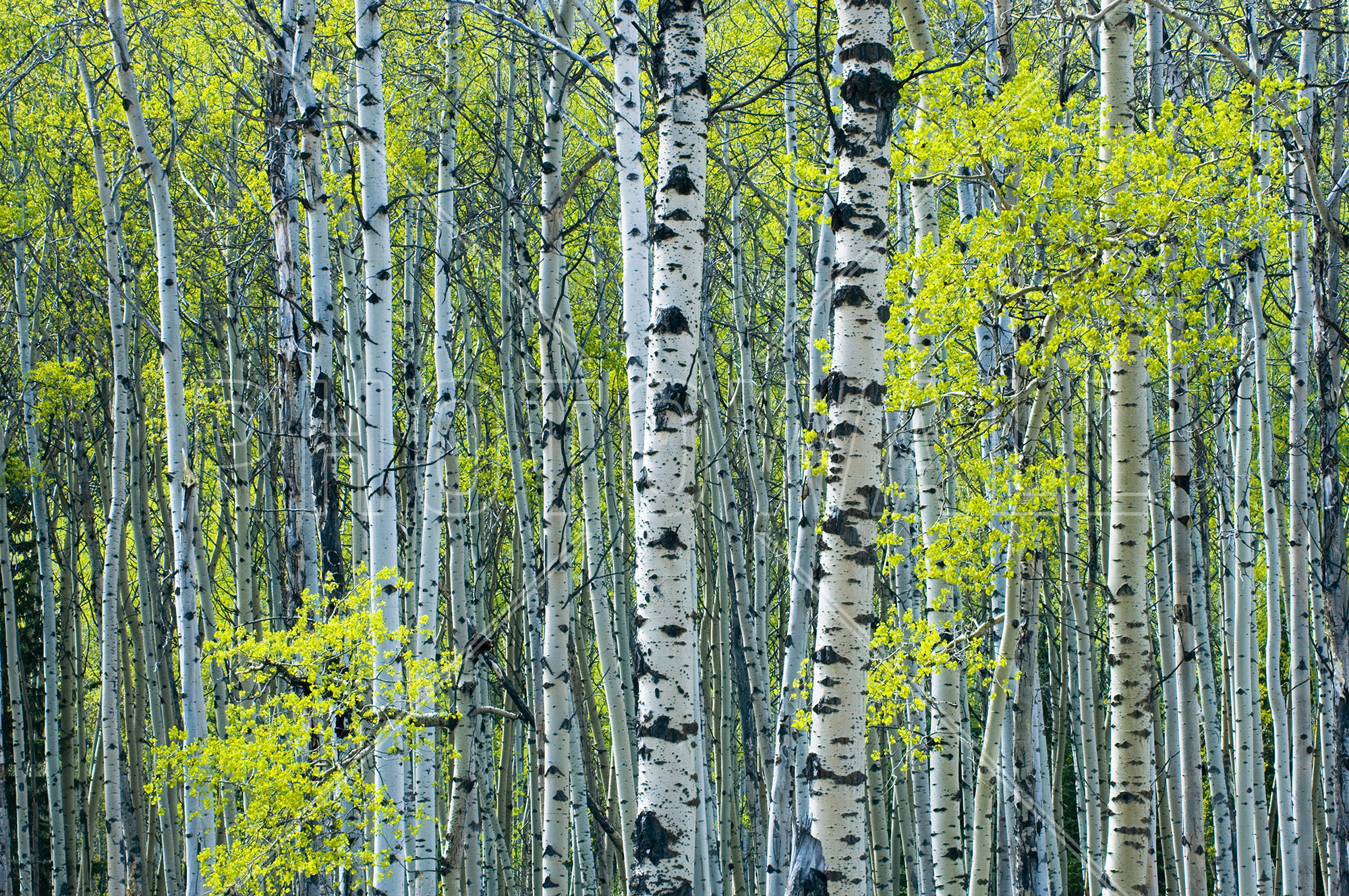 Wall Mural   Spring Foliage On Trembling Aspen Part 61
