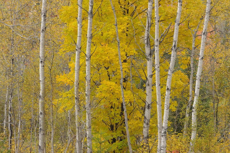 Aspen woodlot with sugar maple tree wall mural photo for Aspen wall mural