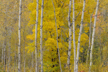 Canvastavla - Aspen Woodlot with Sugar Maple Tree