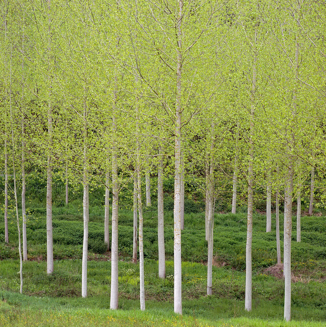 french birch forest wall mural photo wallpaper photowall