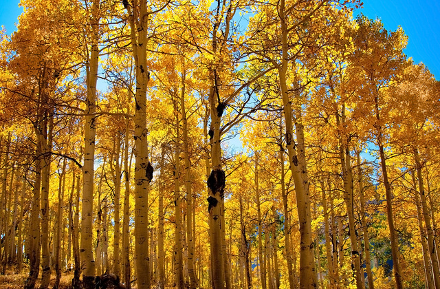 Aspen trees and blue sky wall mural photo wallpaper for Aspen wall mural
