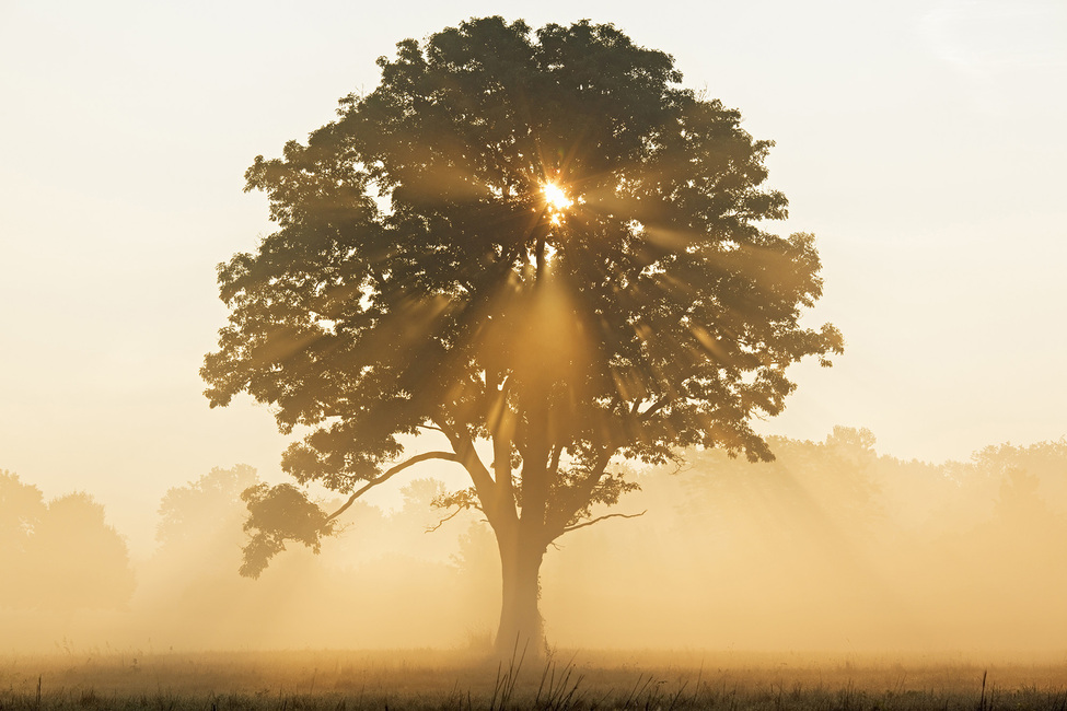 Oak Tree with Sun Rays