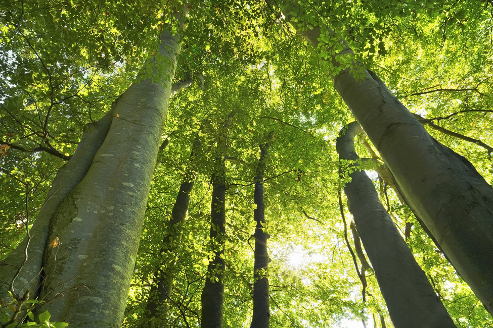 European Beech Forest