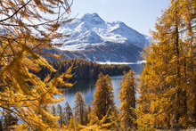 Fototapete - Swiss Larch Trees