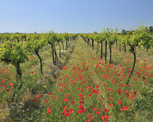 Fototapet - Poppies in the Vineyard
