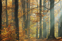 Fototapet - Sunbeams in a Colorful Autumnal Forest