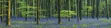 Canvastavla - Beautiful Bluebells