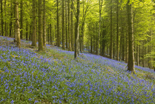 Leinwandbild - Bluebell Floor of Delcombe Wood
