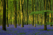Fototapete - Bluebells in Sunlight