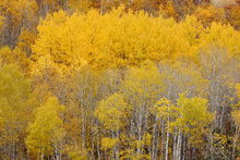 Wall mural - Hillside with Aspens