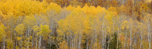 Canvas print - Panoramic Hillside of Aspens