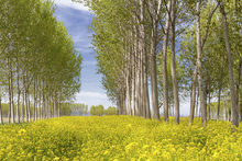 Canvastavla - Poplars Trees in Golden Field