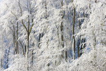 Canvas print - Snow Covered Trees in Gloucestershire