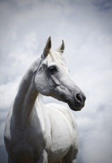 Canvas print - White Roan Arab Horse