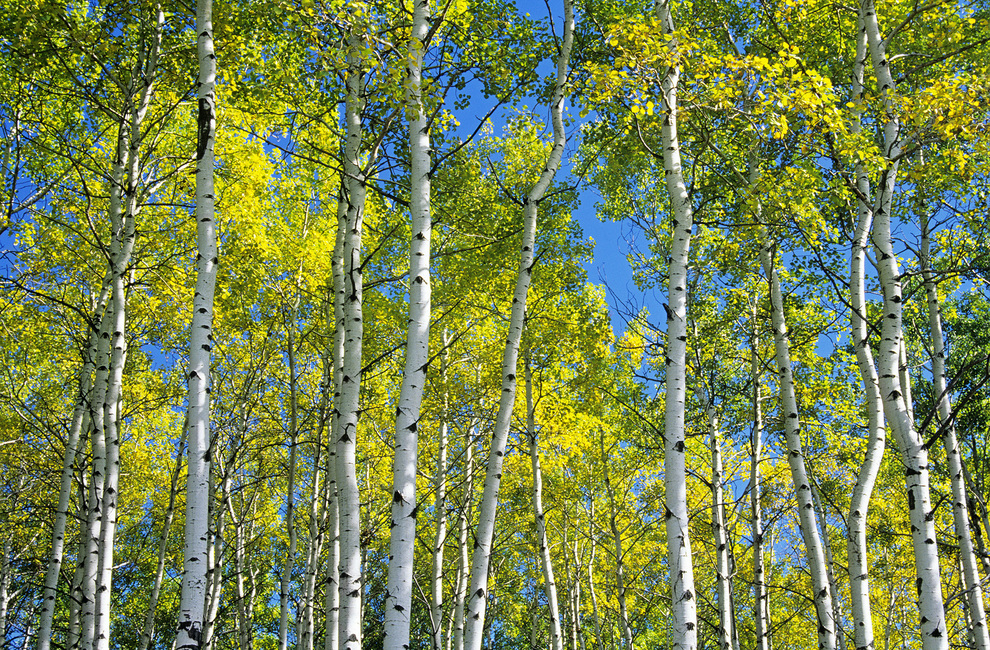 Trembling Aspen Trees