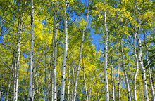 Wall mural - Trembling Aspen Trees