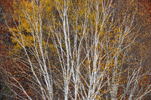 Canvas print - Silver Birch Hillside