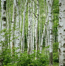 Fototapete - Summer Birch Trees