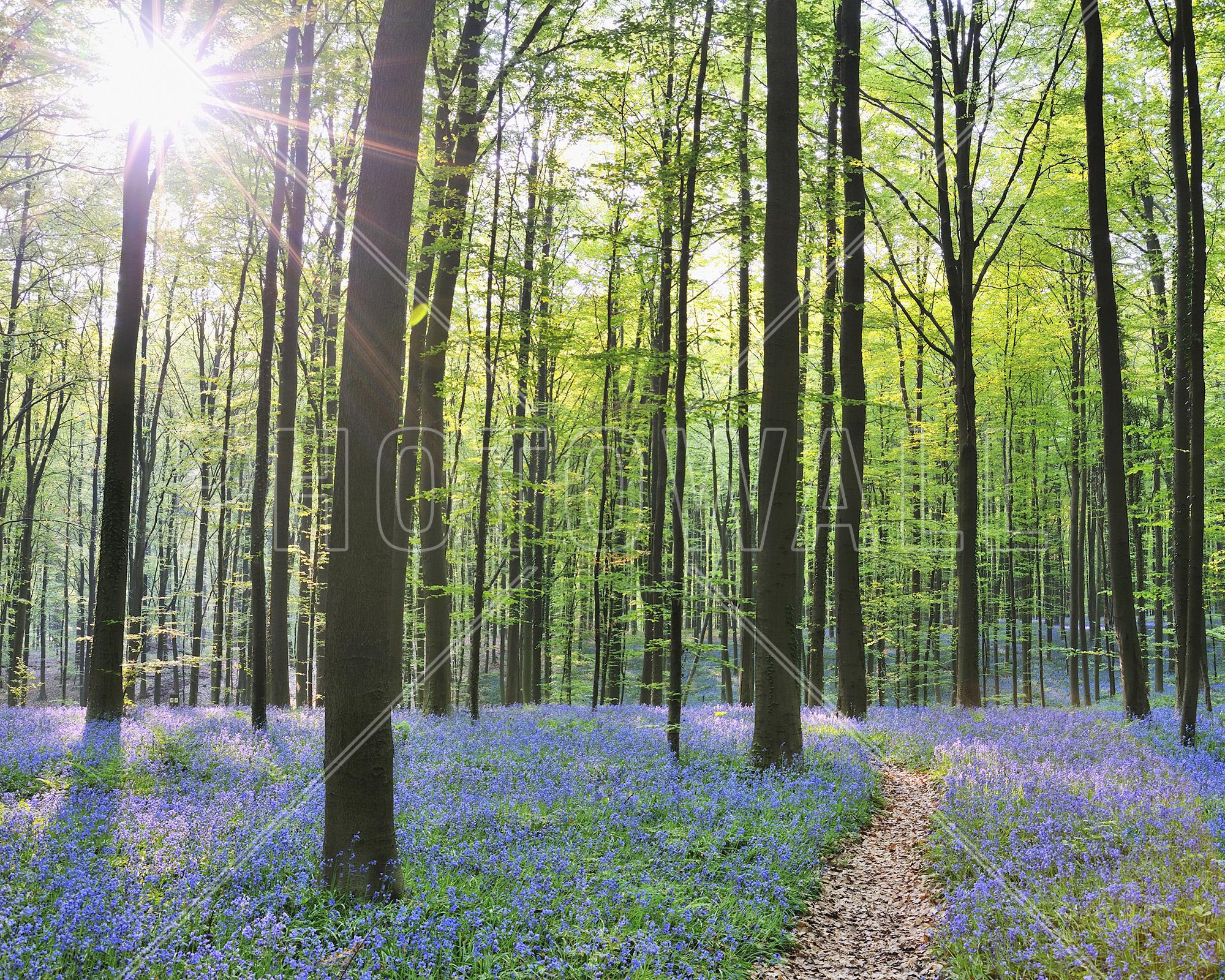 Path Through Bluebells Forest Part 95