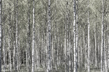 Wall mural - Spring Birch Forest