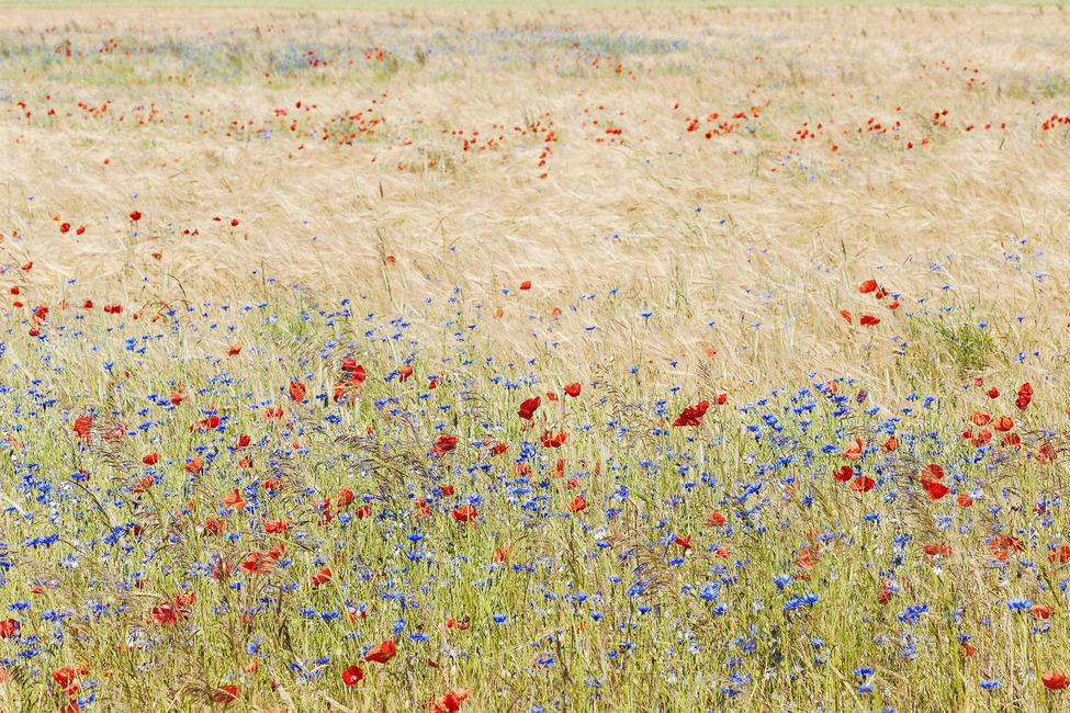 Rye Field with Flowers