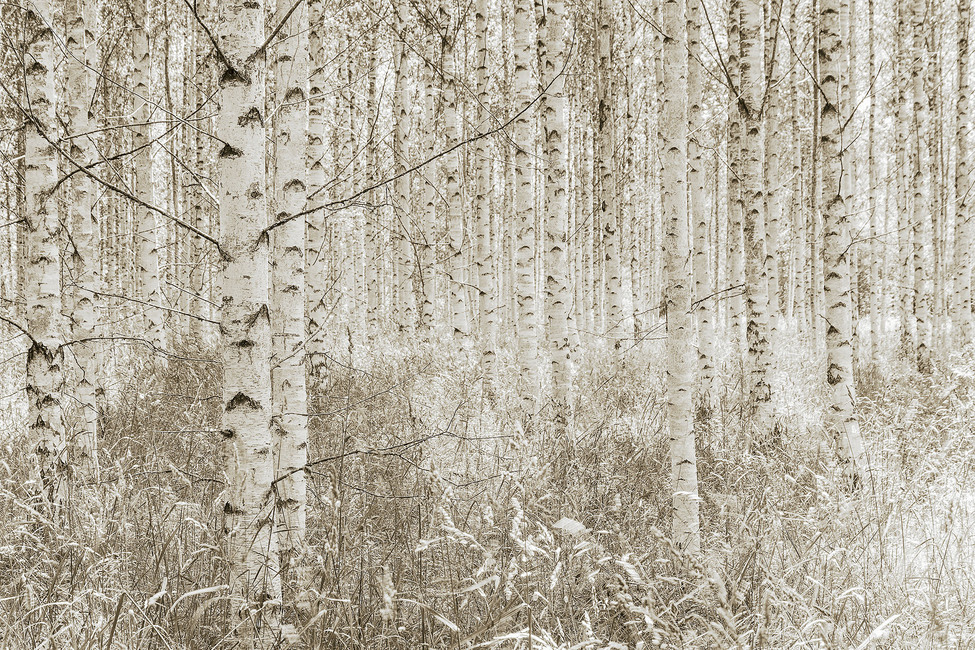Quiet Birch Forest