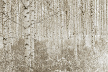 Canvastavla - Quiet Birch Forest