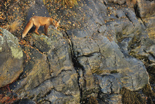 Canvastavla - Fox on the Rocks