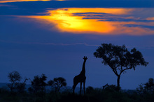 Fototapet - A Giraffe at Sunset