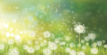Wall Mural - Dandelion Spring Morning