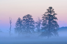 Wall mural - Black Alder in Morning Mist