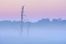 Canvas print - Dead Tree in Morning Mist