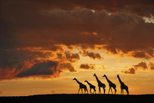 Canvas print - Five Giraffes