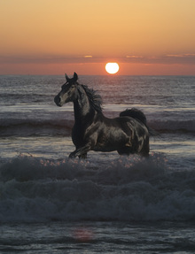 Canvas print - Horse Bathing in Sunset