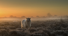 Fototapete - Sheep in the Mist