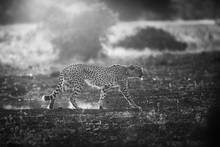 Fototapet - Backlit Cheetah