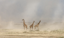Fototapet - Weathering the Amboseli Dust Devils
