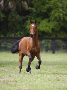Fototapet - Galloping Quarter Horse