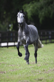 Fototapet - Grey Dot Quarter Horse