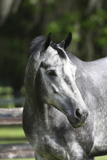 Fototapet - Grey And White Quarter Horse